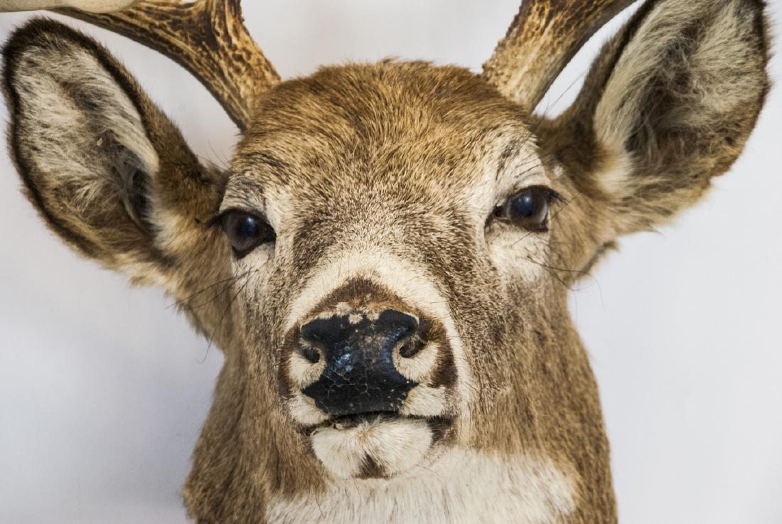 Vintage Hunting Trophy - Taxidermy Deer Buck Head - 7