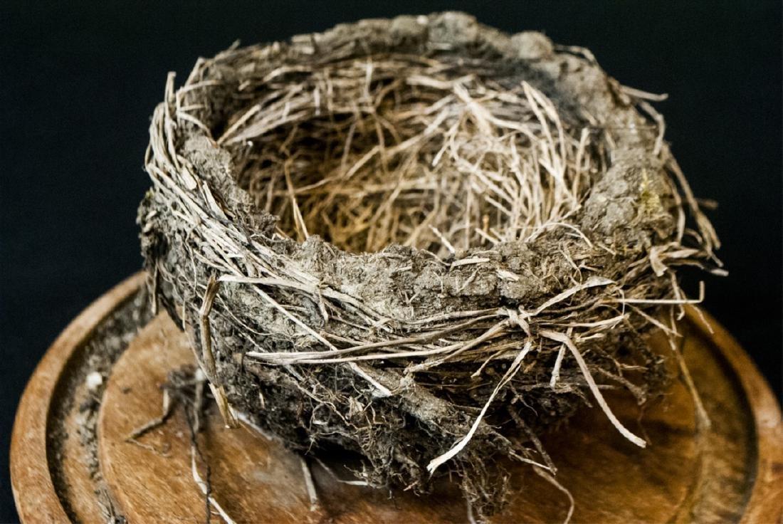 Natural Birds Nest Specimen in Glass Cloche Dome - 2