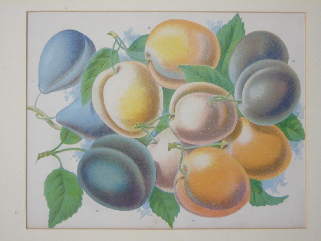 Group of Three Framed Botanical Fruit Prints - 2