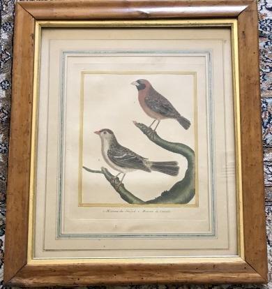 Antique 18th C French Ornithological / Bird Print