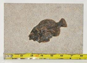 Large Fossil Priscacara Fish In Matrix