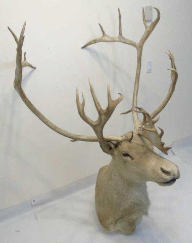 Vintage Specimen Taxidermy Caribou Head Mount