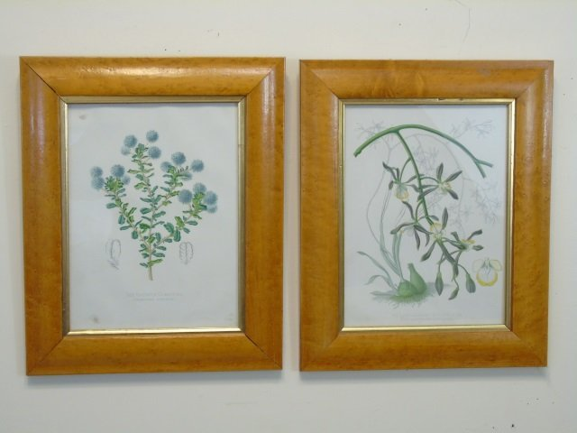 Pair Bird Eye Maple Frame Antique Botanical Prints