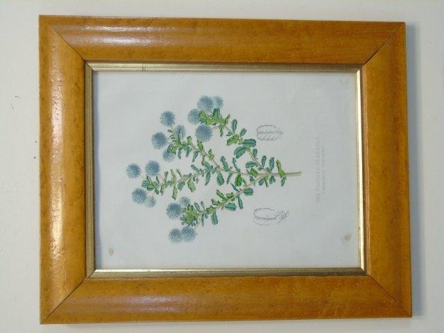 Pair Bird Eye Maple Frame Antique Botanical Prints - 3