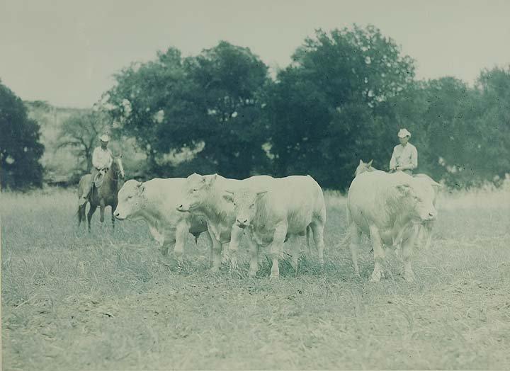 19: Hearding Cattle