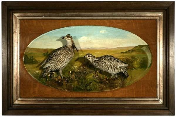 1078: A shadow box trophy of a pair of prairie grouse