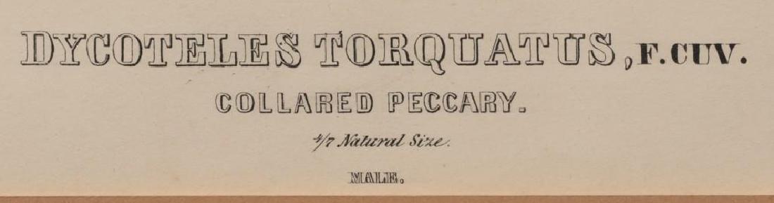 John James Audubon (1785-1851) Plate 31, Peccary - 4