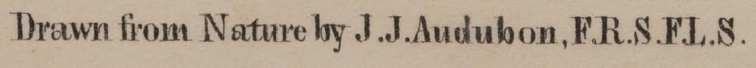 John James Audubon (1785-1851) Plate 31, Peccary - 5