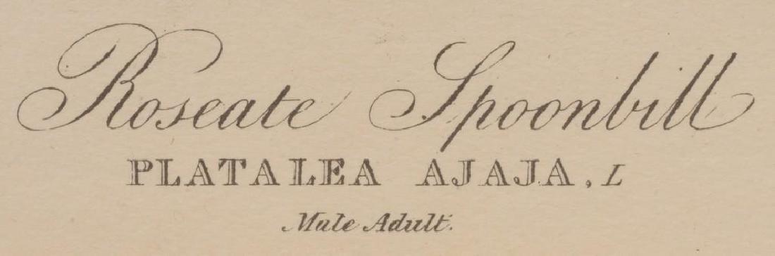 """John James Audubon (1785-1851), """"Roseate Spoonbill"""", - 3"""