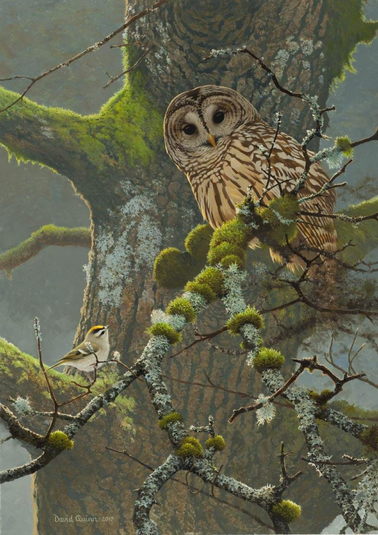 BARRED OWL AND KINGLET by David Quinn