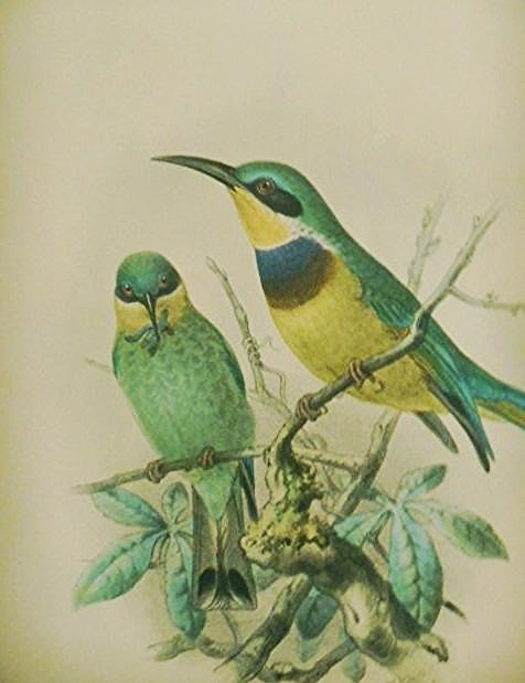 "Johannes Gerardus Keulemans, ""Angolan Bee Eater"" Litho"
