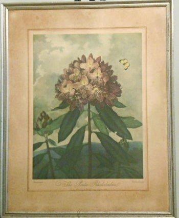 "Dr. Robert John Thornton ""The Pontic Rhododendron"""