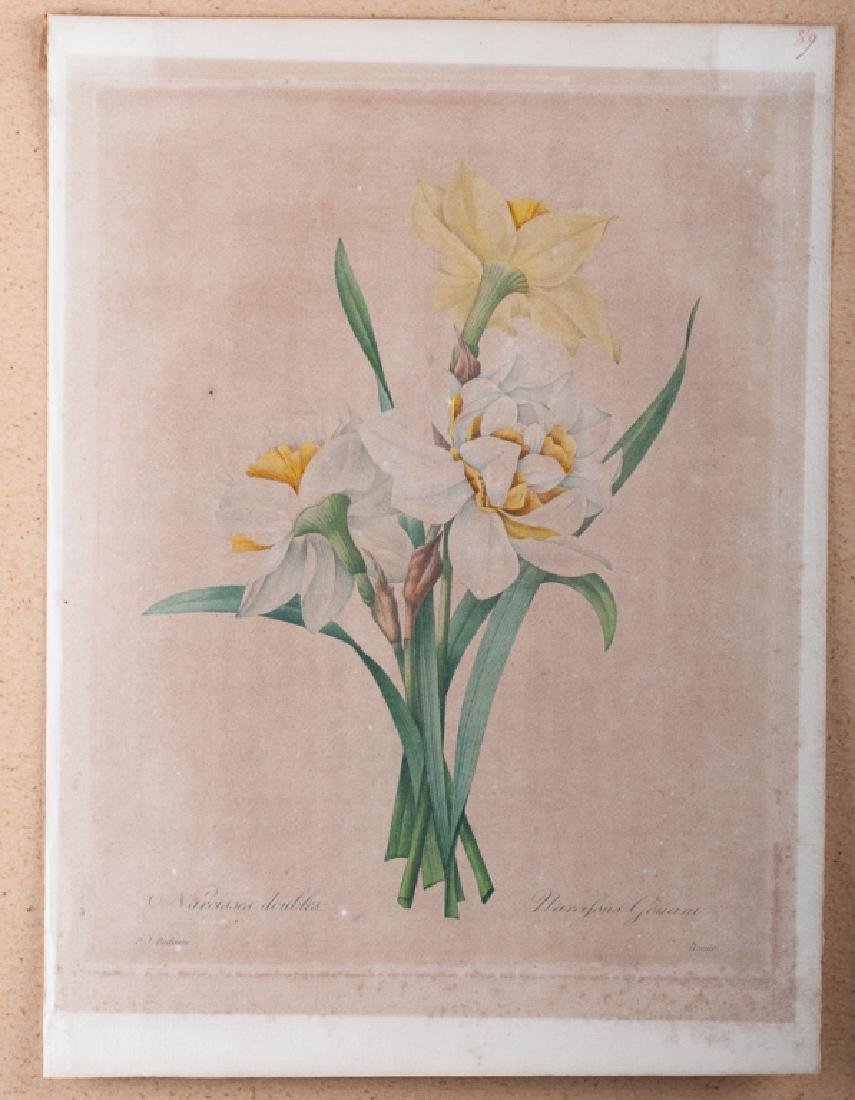 """P.J. Redoute """"Narcissus Gouani """" Engraving 1827"""