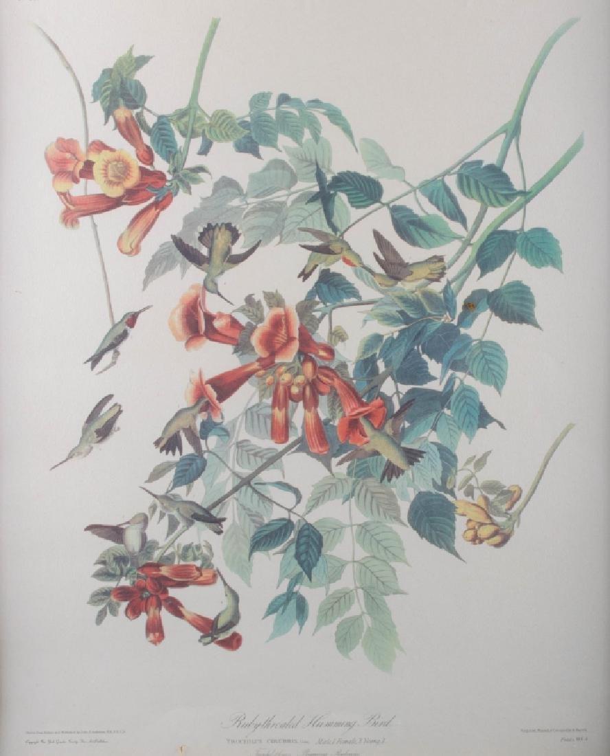 Audubon Ruby-Throated Humming Bird Print