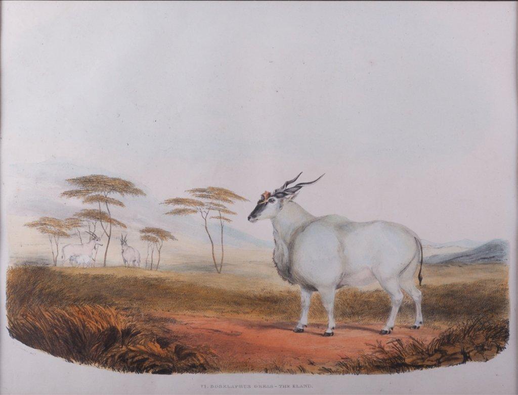 VI Boselaphus Oreas - The Eland