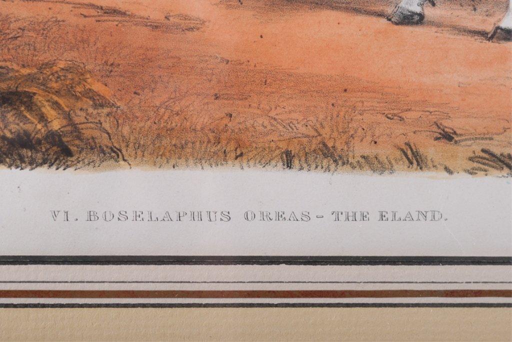 VI Boselaphus Oreas - The Eland - 4