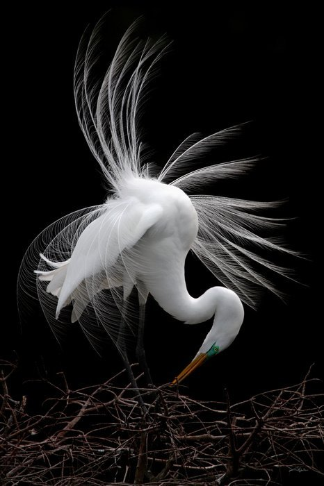 Cheryl Arena, Elegance and Grace, Great Egret