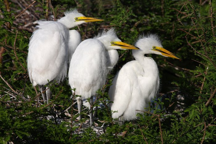 Cheryl Arena, 3 young Great Egrets