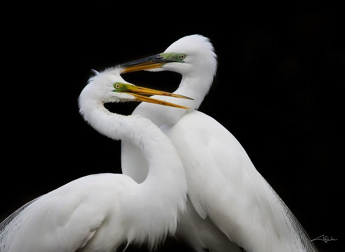 Cheryl Arena, 2 Great Egrets