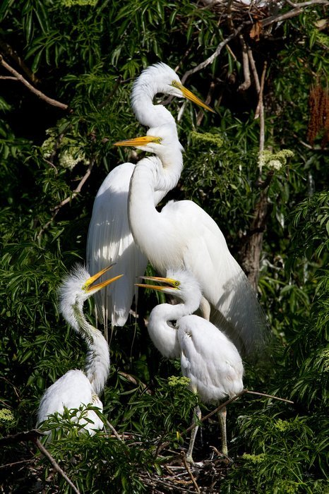 Cheryl Arena, 4 Great Egrets