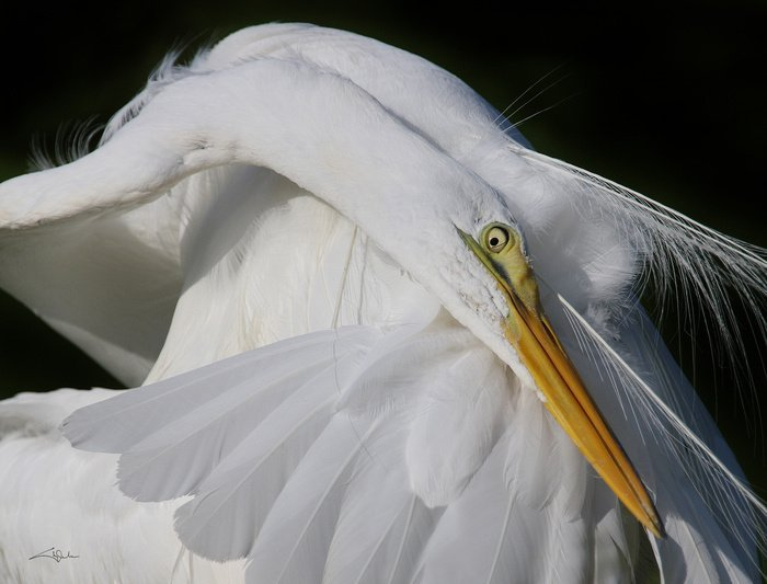 Cheryl Arena, Close-up, Great Egret