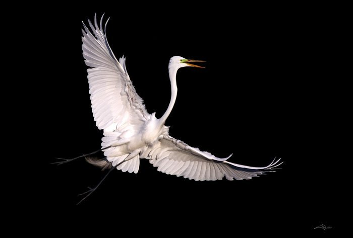 Arena, Cheryl - Flying, Great Egret