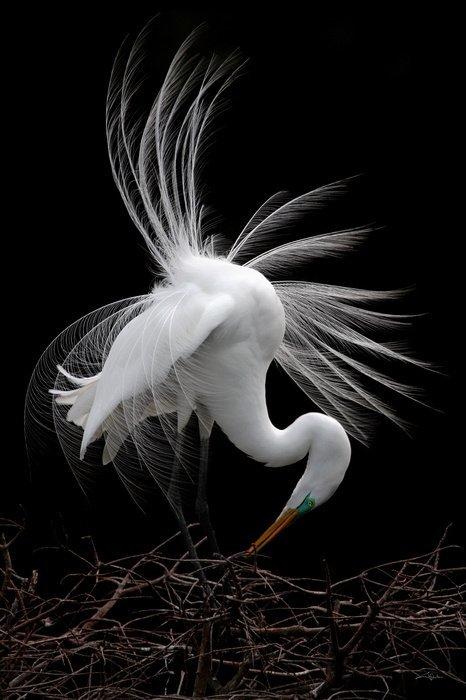 Arena, Cheryl - Elegance and Grace, Great Egret