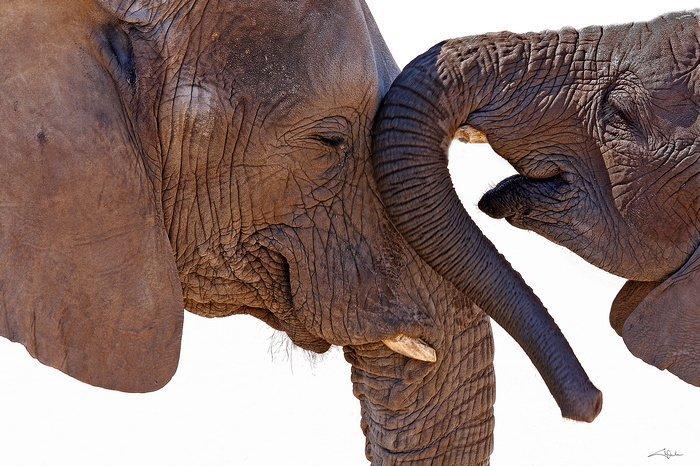 Arena, Cheryl - Elephants