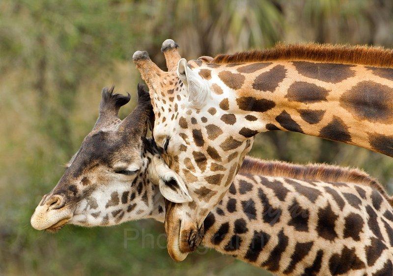 Arena, Cheryl - Giraffes