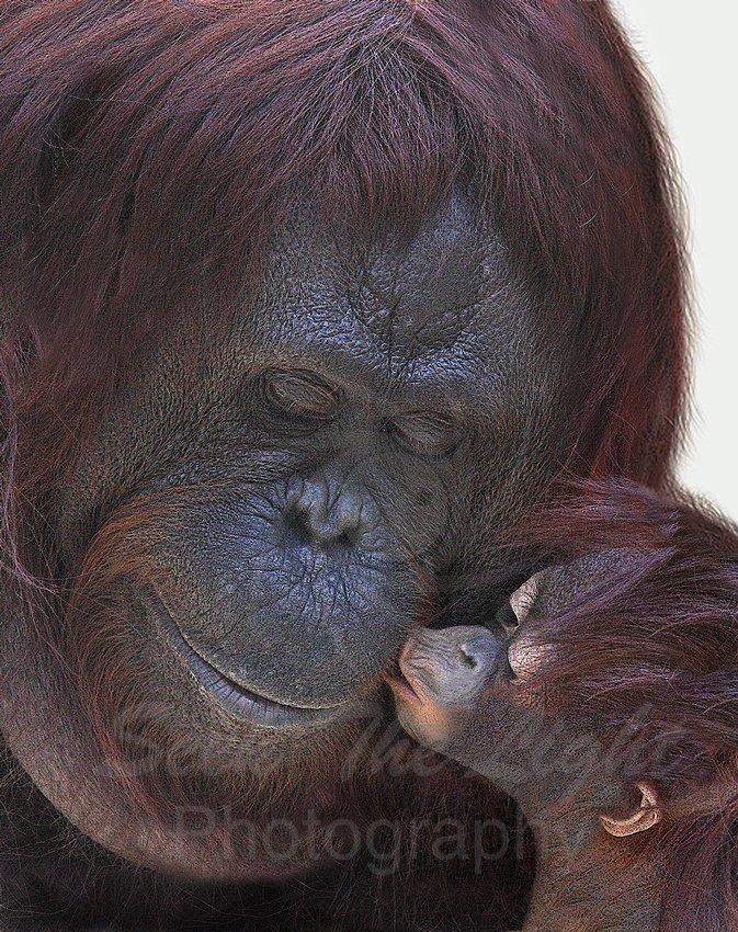 Arena, Cheryl - Orangutangs