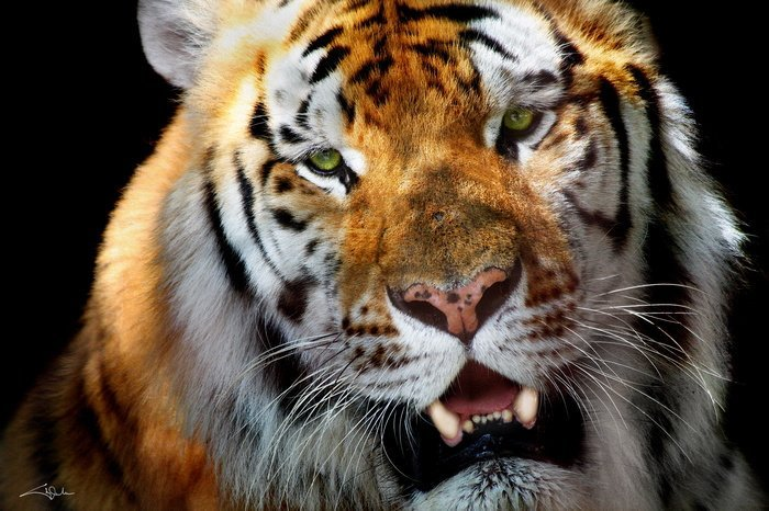 Arena, Cheryl - Tiger