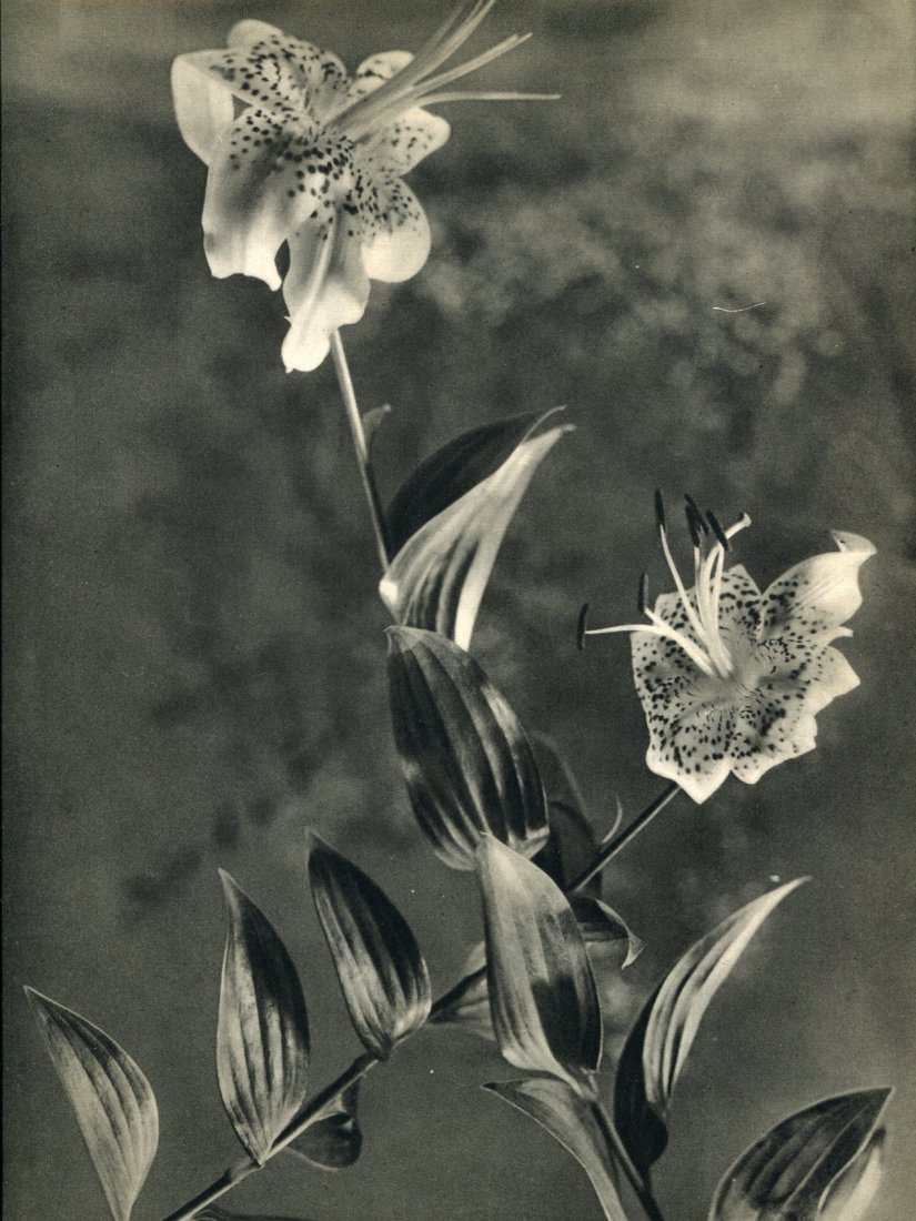 Auradon, JM - Fleurs de Liliums