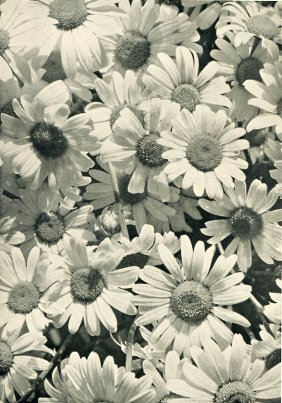 Grabner, Dr. A - One-eye Daisies