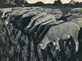 Landau, Ergy - Sheep