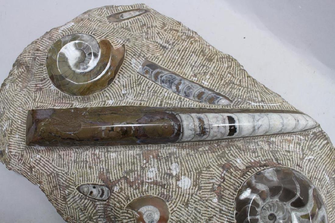 Ammonite Fossil - 4
