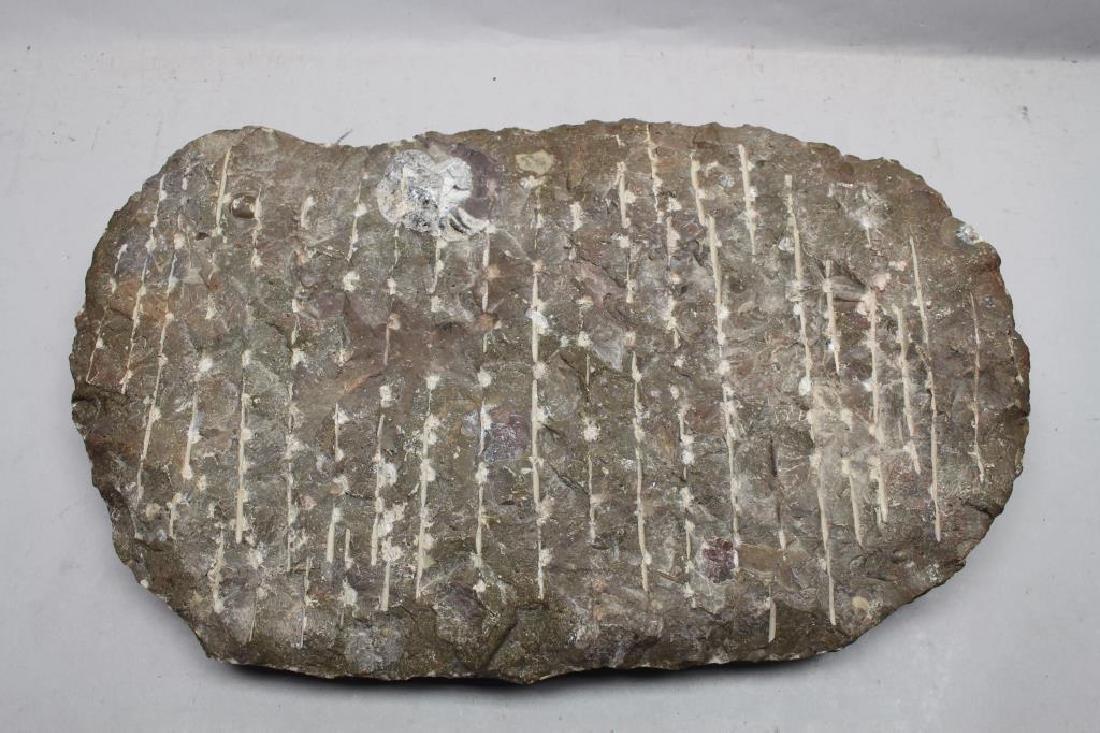 Ammonite Fossil - 6