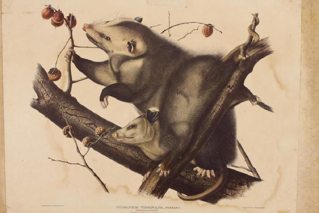 Hand Colored Print of an Opossum Family