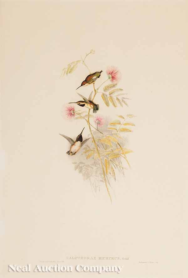 9: After John Gould, hand-colored lithograph