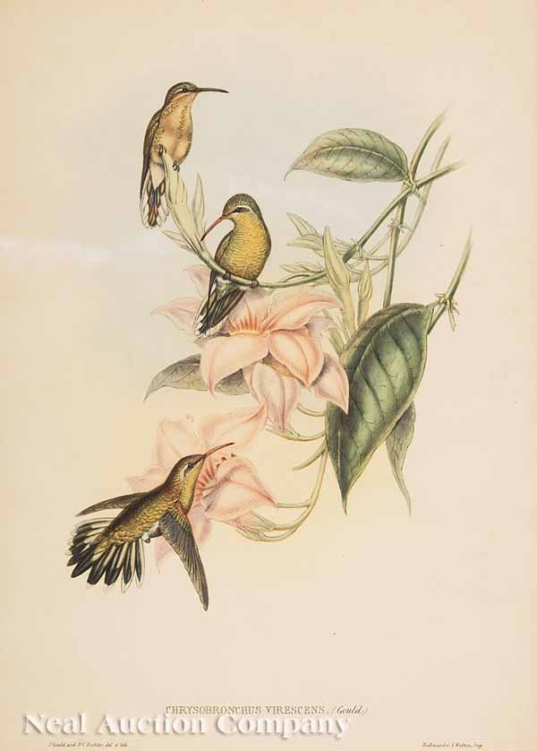 11: After John Gould, hand-colored lithograph