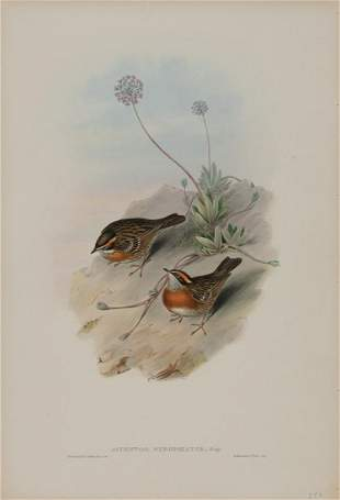 John Gould (British, 1804-1881)