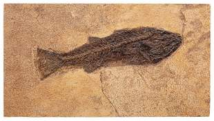 Ancient Mioplosus Fossil of a Fish