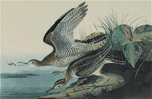 "John James Audubon, ""Bartran Sandpiper"""