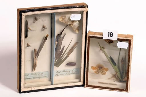 1019: Two small specimen cases of moths and caterpillar