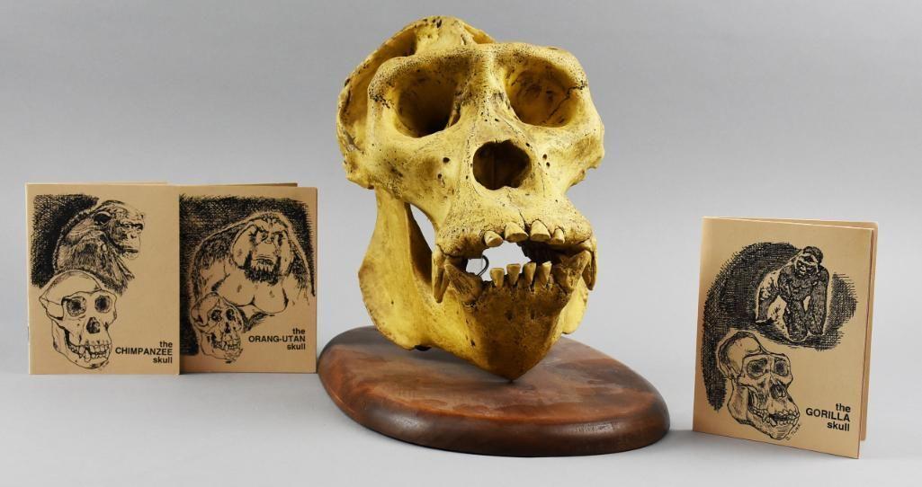 Skullduggery Replica Gorilla Skull