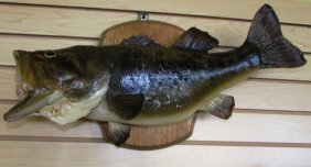 Largemouth Bass Trophy Fish Mount Taxidermy