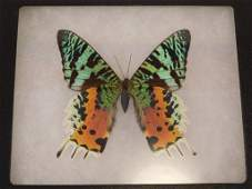 SUNSET MOTH TAXIDERMY IN DISPLAY CASE