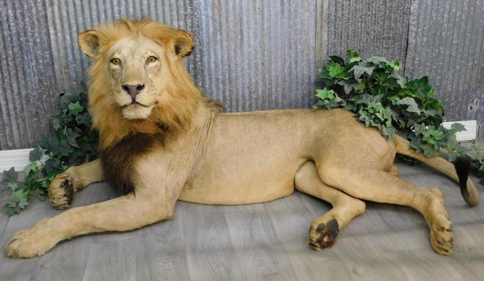 MALE LION TAXIDERMY MOUNT FUL BODY