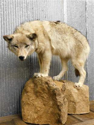WOLF TAXIDERMY MOUNT STUFFED