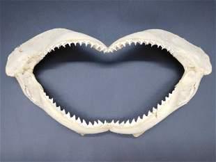 SHARK JAW TAXIDERMY MOUNT STUFFED