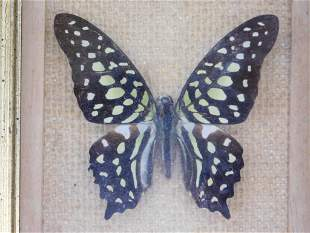 G. AGAMEMNON FROM ASIA BUTTERFLY TAXIDERMY MOUNT
